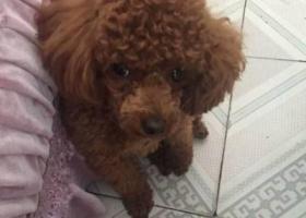 寻狗启示,山东省东营市西城区西三路附近走失泰迪,它是一只非常可爱的宠物狗狗,希望它早日回家,不要变成流浪狗。