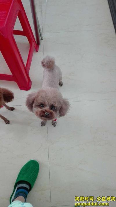 齐齐哈尔寻狗网,泰迪四岁了在泰迪母狗背部有俩黑点,它是一只非常可爱的宠物狗狗,希望它早日回家,不要变成流浪狗。