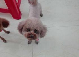 寻狗启示,泰迪四岁了在泰迪母狗背部有俩黑点,它是一只非常可爱的宠物狗狗,希望它早日回家,不要变成流浪狗。