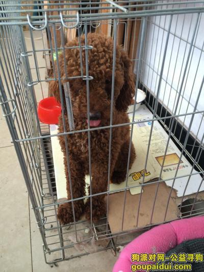 商丘捡到狗,棕色泰迪狗,小公狗,6.30号在我家门口捡到的,它是一只非常可爱的宠物狗狗,希望它早日回家,不要变成流浪狗。