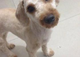 寻狗启示,找毛已经剃刮了的泰迪狗一只6月28日在诚信小区的美容店走丢,它是一只非常可爱的宠物狗狗,希望它早日回家,不要变成流浪狗。