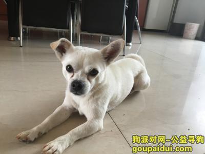 【昆明找狗】,找小米,白色公狗,小型土狗,酬谢2000元。,它是一只非常可爱的宠物狗狗,希望它早日回家,不要变成流浪狗。