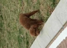 寻狗启示,急寻连云港新浦走失棕色泰迪,它是一只非常可爱的宠物狗狗,希望它早日回家,不要变成流浪狗。