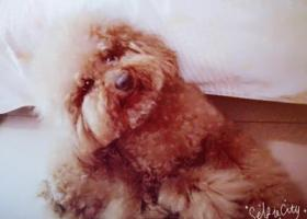 寻狗启示,泰迪狗狗走丢,好心收留者联系我,酬谢1000元。,它是一只非常可爱的宠物狗狗,希望它早日回家,不要变成流浪狗。