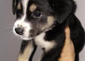 寻狗启示,捡到一只小黑狗,在合肥北二环和阜阳路交叉口。,它是一只非常可爱的宠物狗狗,希望它早日回家,不要变成流浪狗。