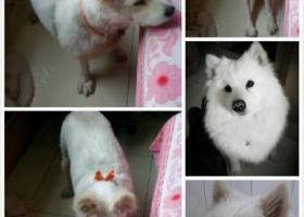 寻狗启示,临沂市莒南县寻找剃毛萨摩耶,它是一只非常可爱的宠物狗狗,希望它早日回家,不要变成流浪狗。