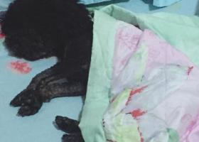 寻狗启示,黑泰迪在宿州薛园新村走丢,它是一只非常可爱的宠物狗狗,希望它早日回家,不要变成流浪狗。