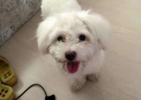 寻狗启示,宝鸡 寻狗主人 2016-6-29,它是一只非常可爱的宠物狗狗,希望它早日回家,不要变成流浪狗。
