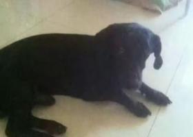 寻狗启示,寻狗启示,齐齐哈尔 民航路 畅心圆附近 丢失一只小型黑犬 叫黑宝。,它是一只非常可爱的宠物狗狗,希望它早日回家,不要变成流浪狗。