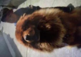 寻狗启示,找回丢失两个月的狗 嘟嘟,它是一只非常可爱的宠物狗狗,希望它早日回家,不要变成流浪狗。