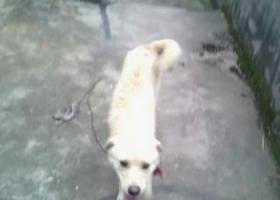 寻狗启示,在四川彭山走失,找到请拨打18180052519,重金答谢,它是一只非常可爱的宠物狗狗,希望它早日回家,不要变成流浪狗。