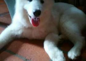 寻狗启示,广东汕头澄海寻找萨摩耶,它是一只非常可爱的宠物狗狗,希望它早日回家,不要变成流浪狗。