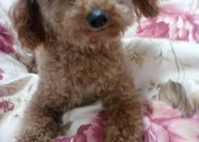 寻狗启示,在宜春御景东方附近走丢 希望狗狗赶紧回家,它是一只非常可爱的宠物狗狗,希望它早日回家,不要变成流浪狗。