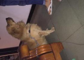 寻狗启示,2016年六月捡到一只金毛,很强壮,爱打架。喜欢坐车,喜欢水,它是一只非常可爱的宠物狗狗,希望它早日回家,不要变成流浪狗。