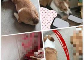 寻狗启示,寻找爱犬,6月7号于淮北滨河花园一期丢失,小母狗,柯基犬,它是一只非常可爱的宠物狗狗,希望它早日回家,不要变成流浪狗。