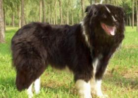 寻狗启示,寻找我家的狗狗(宝弟),它是一只非常可爱的宠物狗狗,希望它早日回家,不要变成流浪狗。