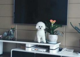 寻狗启示,白色比熊丢失,找到重谢,它是一只非常可爱的宠物狗狗,希望它早日回家,不要变成流浪狗。