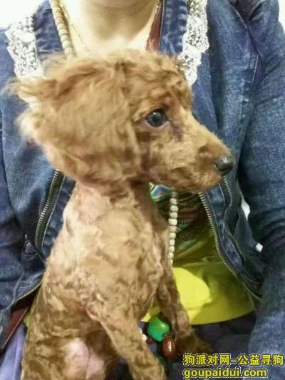 黑河找狗,黑河北安寻狗,泰迪,5个月大,它是一只非常可爱的宠物狗狗,希望它早日回家,不要变成流浪狗。