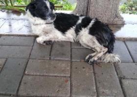寻狗启示,7月20日捡到堤口路西工商河黑白花公狗,11公斤多,蓝色脖套,它是一只非常可爱的宠物狗狗,希望它早日回家,不要变成流浪狗。