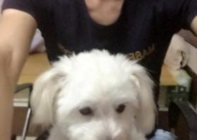 寻狗启示,比熊犬,名叫泡泡,3岁了,它是一只非常可爱的宠物狗狗,希望它早日回家,不要变成流浪狗。