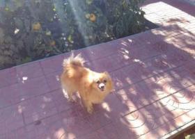 寻狗启示,我家的小狗丢了,她叫莎莎,品种是博美,在2016年3月6日早上,希望大家有找到的帮我一下,我对狗狗的感情很深,丢了这段时间呢,我想它快想疯了,哭也哭了好几次了,找到必有重谢,它是一只非常可爱的宠物狗狗,希望它早日回家,不要变成流浪狗。