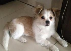 寻狗启示,2000元寻找爱犬!,它是一只非常可爱的宠物狗狗,希望它早日回家,不要变成流浪狗。