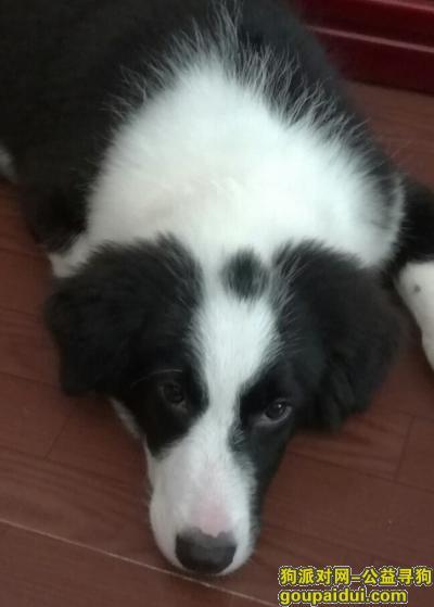 【巢湖找狗】,寻找4个月的小边牧,巢湖走失,它是一只非常可爱的宠物狗狗,希望它早日回家,不要变成流浪狗。