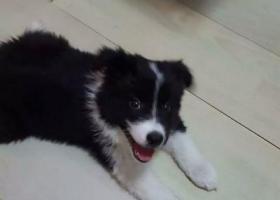 寻狗启示,重金寻狗,两个月大黑白边牧,昭君宾馆后院走丢,它是一只非常可爱的宠物狗狗,希望它早日回家,不要变成流浪狗。