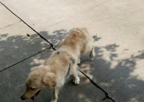成都市成南立交捡到一只金毛狗狗!