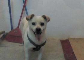寻狗启示,普通家养的中华田园犬,原来是白色的,现在年纪大了,身上有道黄身上有个军绿色的狗绳,它是一只非常可爱的宠物狗狗,希望它早日回家,不要变成流浪狗。
