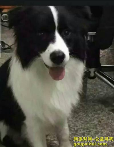 【温州找狗】,黑白狗,边境牧羊犬公狗,温州瓯海区六虹桥温科院附近丢失,它是一只非常可爱的宠物狗狗,希望它早日回家,不要变成流浪狗。