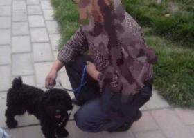 寻狗启示,寻找黑色泰迪 正常体型 必有重谢,它是一只非常可爱的宠物狗狗,希望它早日回家,不要变成流浪狗。