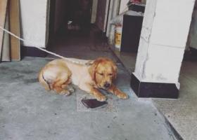 寻狗启示,着急寻找爱狗金毛皮皮,它是一只非常可爱的宠物狗狗,希望它早日回家,不要变成流浪狗。