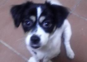 寻狗启示,求助寻狗网络平台的好心网民和爱狗人士帮助寻狗,它是一只非常可爱的宠物狗狗,希望它早日回家,不要变成流浪狗。