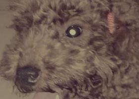 寻狗启示,寻找一只胸口有白色毛的泰迪弟弟,它是一只非常可爱的宠物狗狗,希望它早日回家,不要变成流浪狗。