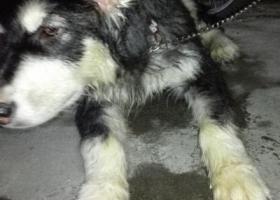 寻狗启示,厦门曾厝垵捡到拉斯维加斯一条,它是一只非常可爱的宠物狗狗,希望它早日回家,不要变成流浪狗。