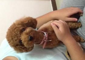 寻狗启示,天津红磡领世郡找泰迪狗的主人,它是一只非常可爱的宠物狗狗,希望它早日回家,不要变成流浪狗。