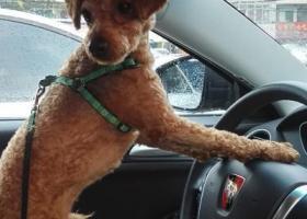 寻狗启示,急寻1岁泰迪爱犬康康,它是一只非常可爱的宠物狗狗,希望它早日回家,不要变成流浪狗。