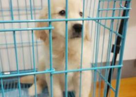美系纯种金毛于2016年8月4日走失,小狗四个半月大,拾到者重金酬谢