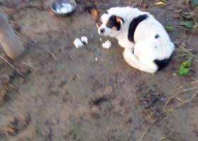 寻狗启示,105国道捡到一条花狗,它是一只非常可爱的宠物狗狗,希望它早日回家,不要变成流浪狗。