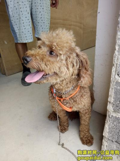 大丰捡到狗,大丰韩国工业乐园区 遇到一条迷失泰迪 如有失主 前来领取,它是一只非常可爱的宠物狗狗,希望它早日回家,不要变成流浪狗。