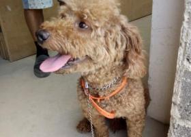 寻狗启示,大丰韩国工业乐园区 遇到一条迷失泰迪 如有失主 前来领取,它是一只非常可爱的宠物狗狗,希望它早日回家,不要变成流浪狗。