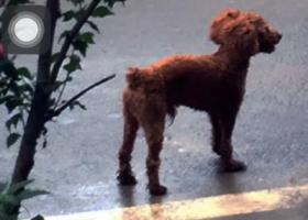 寻狗启示,寻九个月大的小公狗棕红色的泰迪,它是一只非常可爱的宠物狗狗,希望它早日回家,不要变成流浪狗。