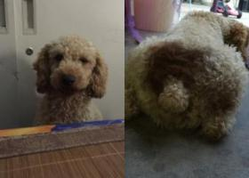 寻狗启示,寻爱犬 黄色泰迪 屁股后面有胎记,它是一只非常可爱的宠物狗狗,希望它早日回家,不要变成流浪狗。