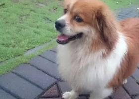 寻狗启示,急找一只黄色的北京犬,它是一只非常可爱的宠物狗狗,希望它早日回家,不要变成流浪狗。