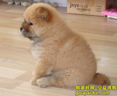 芜湖捡到狗,香格里拉门口有一只走丢的小松狮,它是一只非常可爱的宠物狗狗,希望它早日回家,不要变成流浪狗。