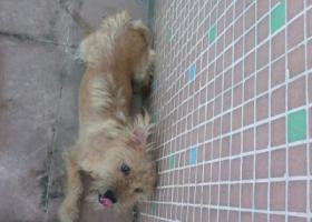 广州市白云区嘉禾黄边捡到一只小狗