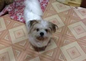 黑龙江 哈尔滨 经委十道街白色蝴蝶犬走失