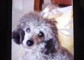 寻狗启示,一只灰色身体,紫色尾巴的贵宾狗丢失,望找回,它是一只非常可爱的宠物狗狗,希望它早日回家,不要变成流浪狗。