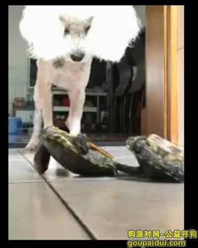 寻狗启示,青岛市四方悦荟附近周围丢失,白色贵宾犬,在脖子上有一撮毛与身上别的地方不同,它是一只非常可爱的宠物狗狗,希望它早日回家,不要变成流浪狗。